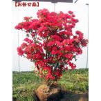 特大 久留米ツツジ(クルメツツジ) 筑紫紅(チクシベニ)樹高1.2m以上(根鉢含まず)
