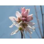 現品発送 ジューンベリー (ロビンヒル) 樹高2.1-2.6m(根鉢含まず)