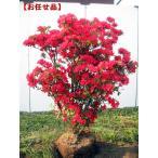 特大 久留米ツツジ(クルメツツジ) 筑紫紅(チクシベニ)樹高1.0m(根鉢含まず)