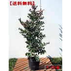トキワマンサク(赤葉紅花常盤満作) 10本セット 樹高0.8m(根鉢含まず) 送料無料