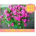 珍しい四季咲きツツジがこのボリューム(特大6号鉢) 鉢植え 送料無料