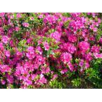 クルメツツジ(久留米ツツジ) 胡蝶の舞(コチョウノマイ) 紫花 約0.3m(根鉢含む)