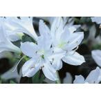 クルメツツジ(久留米ツツジ) 白妙(シロタエ) 白花一重 約0.3m(根鉢含む)