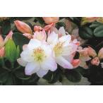 クルメツツジ(久留米ツツジ) アズマカガミ 桜花八重一重 約0.3m(根鉢含む)