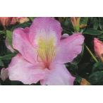 御代の栄(ミヨノサカエ) 絞りピンク花一重 約0.3m(根鉢含む)