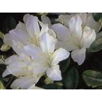 クルメツツジ(久留米ツツジ) 白雪(シラユキ) 白花一重 約0.3m(根鉢含む)