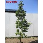 [現品発送]常緑ヤマボウシ ホンコンエンシス(月光) 株立 樹高1.9-2.1m(根鉢含まず)