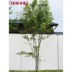 イロハモミジ 株立 樹高2.5m(根鉢含まず)