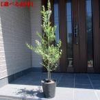 選べる7品種 オリーブの木 鉢植え  特大7号ポット(21cmポット)  送料無料