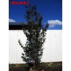 [現品発送]ソヨゴ 樹高2.5-2.6m(根鉢含まず)