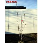 [現品発送]モクレン (木蓮)バルカン 樹高1.7-1.8m(根鉢含まず)【大型商品・配達日時指定不可】