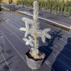 もみの木の王様 プンゲンストウヒ ホプシー(つぎ木苗)樹高60cm(根鉢含まず) レビューを書いて送料無料