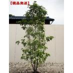 常緑ヤマボウシ ホンコンエンシス(月光) 株立 樹高1.8m前後(根鉢含まず)