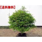 玉ドウダンツツジ(白花) 樹高0.5m幅0.5m前後(根鉢含まず) 送料無料