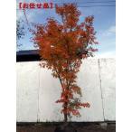 現品発送 モミジ サンゴカクモミジ(珊瑚閣紅葉) 樹高2.1-2.4m(根鉢含まず)