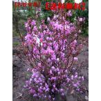 送料無料 ミツバツツジ (紫花)樹高1.4m前後(根鉢含まず)