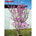 [現品発送]ミツバツツジ (紫花) 樹高1.6-1.8m(根鉢含まず)