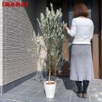 現品発送 オリーブの木 レッチーノ  樹高2.0m-2.2m(根鉢含まず)