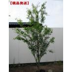 [現品発送]ハイノキ(灰の木) 樹高1.9-2.1m(根鉢含まず)