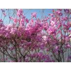 ミツバツツジ (紫花)樹高1.2m前後(根鉢含まず) シンボルツリー 落葉樹 落葉低木 花木 庭木