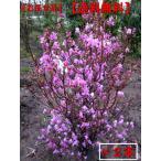 [送料無料]ミツバツツジ 2本セット(紫花)樹高0.5m前後(根鉢含まず)