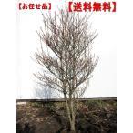 特大ドウダンツツジ(白花) 樹高1.2m前後(根鉢含まず) 送料無料