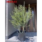 現品発送 オリーブの木(チプレッシーノ) 樹高2.2m-2.4m(根鉢含まず)