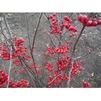 アロニア(チョコレートベリー ) 株立 樹高2.0m(根鉢含まず)