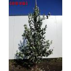 フェイジョア 選べる品種 樹高1.5m前後(根鉢含まず)果樹苗 シンボルツリー 庭木 植木 常緑樹 常緑高木
