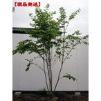 現品発送 ツリバナ 株立 樹高1.9-2.4m前後(根鉢含まず)