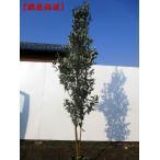 現品発送 フェイジョア アポロ  実のなる特大サイズ!樹高1.8-2.0m(根鉢含まず)
