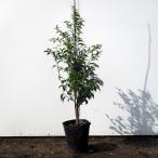 常緑エゴノキ 樹高1.5m以上(根鉢含まず)7号鉢 送料無料