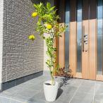 リスボンレモンの木 果樹苗 7号 化粧鉢 鉢底90cm前後 送料無料 母の日 鉢植え ははのひ ギフト 記念樹  新築祝い
