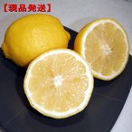 [7月31日以降発送予定/予約商品] 現品発送 特大レモンの木 樹高1.7m-2.2m(根鉢含まず)  シンボルツリー 庭木 植木 常緑樹 常緑高木
