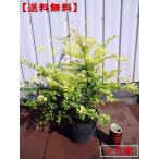 送料無料 5本セット プリペット レモンアンドライム 樹高30cm前後(根鉢含まず)  生垣 生け垣 常緑樹 常緑中木