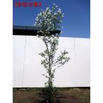 現品発送 利休梅(リキュウバイ) 樹高1.5m-2.0m(根鉢含まず)  シンボルツリー 落葉樹 落葉高木 庭木