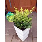 ナンテン(南天)レモンライム 6号鉢 オシャレ鉢植え 送料無料  常緑低木 常緑樹 花木 母の日 贈り物