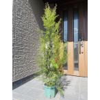 お任せ品 メラレウカ レモンティーツリー<BR>レモンの香り強くハーブティにも使える 樹高1.0m以上(根鉢含まず)5号ポット  常緑樹 常緑高木
