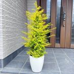 プリペット(レモンライム) 7号 化粧鉢 ボリューム 翌日発送 母の日 ははのひ ギフト 記念樹 新築祝い 庭木 植木 常緑樹 常緑高木