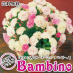 バンビーノ 甘いバニラの香りのカーネーション 5号鉢 母の日