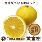 黄金柑 みかん 愛媛県 宇和島産 4kg 50個前後 希少 ゴールデンオレンジ