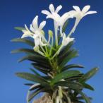 【富貴蘭】 兜丸(かぶとまる)1条/ 花 古典植物 フウラン