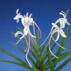 【富貴蘭】 桃琴(とうきん)2条/ 花 蘭 古典植物 フウラン