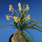 【富貴蘭】 黄鳳(こうほう)1条/ 花 蘭 古典植物 フウラン