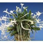 【富貴蘭】 玉金剛(たまこんごう)4-5条/ 花 蘭 古典植物 フウラン