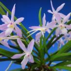 【富貴蘭】 藤娘(ふじむすめ)1条/ 花 蘭 古典植物 フウラン