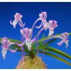【富貴蘭】 紅雀(べにすずめ)2-3条/ 花 蘭 古典植物 フウラン