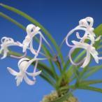 【富貴蘭】 桃姫(ももひめ)3条/ 花 蘭 古典植物 フウラン