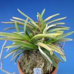 【富貴蘭】 花衣(はなごろも)2条/ 花 蘭 古典植物 フウラン