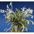 【富貴蘭】 西出都(にしでみやこ)1条/ 花 蘭 古典植物 フウラン